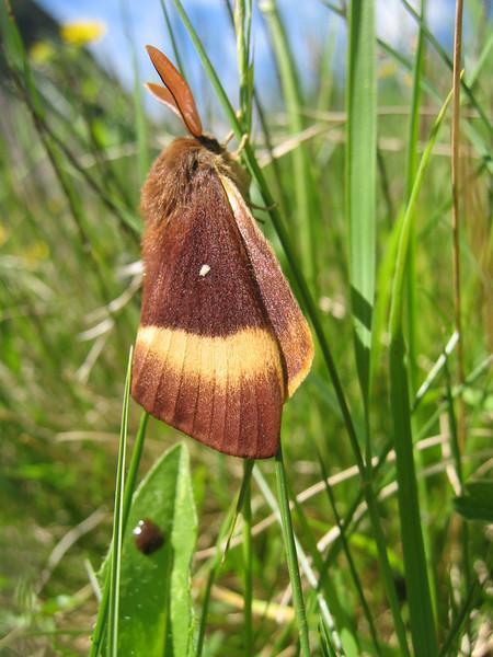Lasiocampus quercus (NL: Hageheld mannetje)
