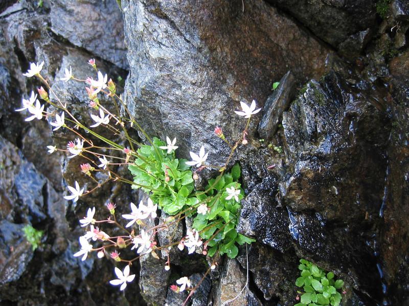 Monanthes stellaris, (formerly: Saxifraga stellaris)