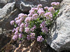Thlaspi rotundifolium ssp. rotundifolium