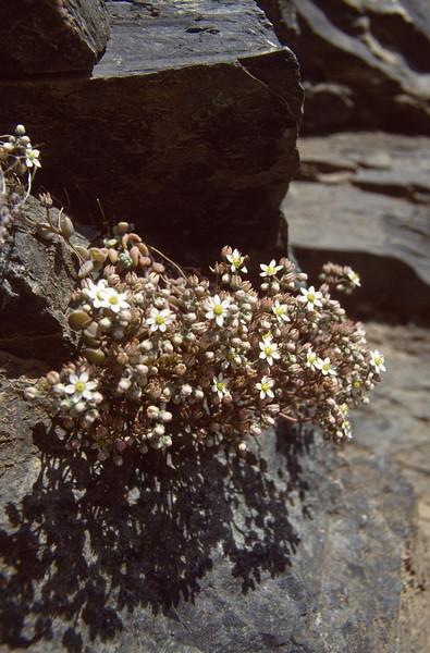 Sedum dasyphyllum (Queyras, Alps, France)