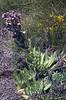 Sempervivum tectorum ssp. tectorum (60 cm.)