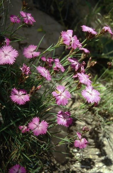 Dianthus sequieri ssp. sequieri