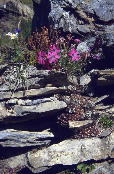 habitat with Dianthus pavonius and Sempervivum arachnodeum