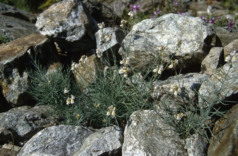 Linaria vulgaris (Queyras, Alps, France)