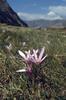 Colchicum alpestris (Queyras, Alps, France)