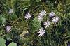 Scorzonera laciniata ssp. calcitrapifolia