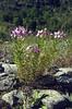 Epilobium fleischeri (Queyras, Alps, France)