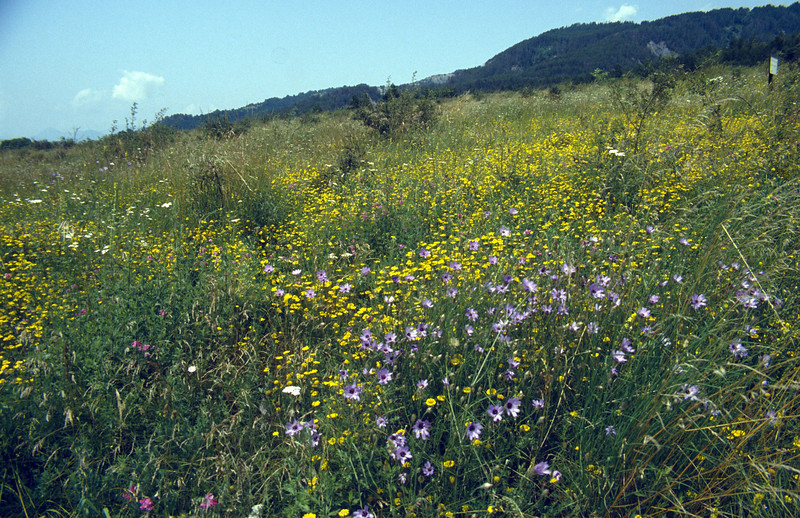 habitat of Catananche caerulea