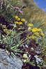 Bupleurum ranunculoides ssp.ranunculoides