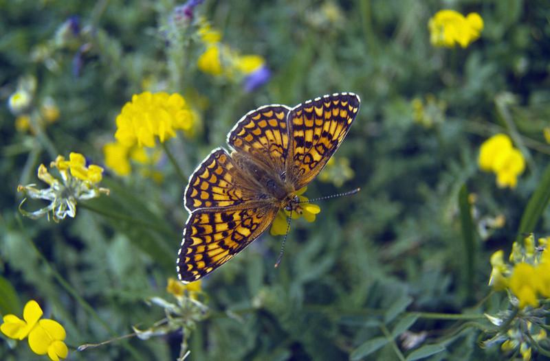 Melitaea phoebe, (NL: parelmoervlinder)