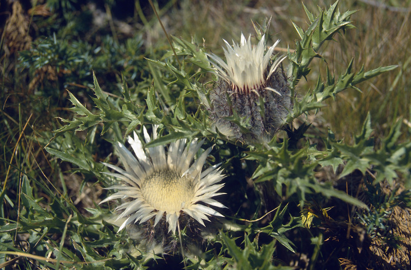 Carlina acaulis ssp. caulescens