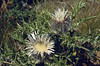 Carlina acaulis ssp. caulescens