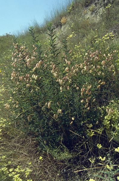 shrub of Colutea arborescens, europese blazenstruik