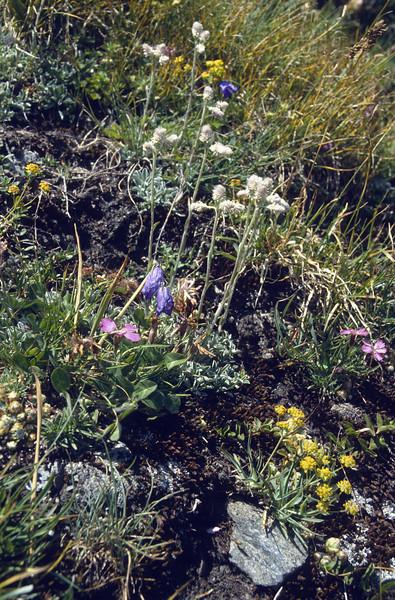 habitat with Antennaria dioica, Dianthus pavonius and Bupleurum ranunculoides ssp.ranunculoides