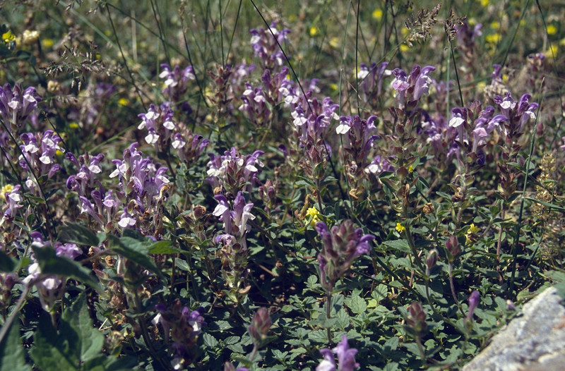 habitat of Scutellaria alpina (Queyras, Alps, France)