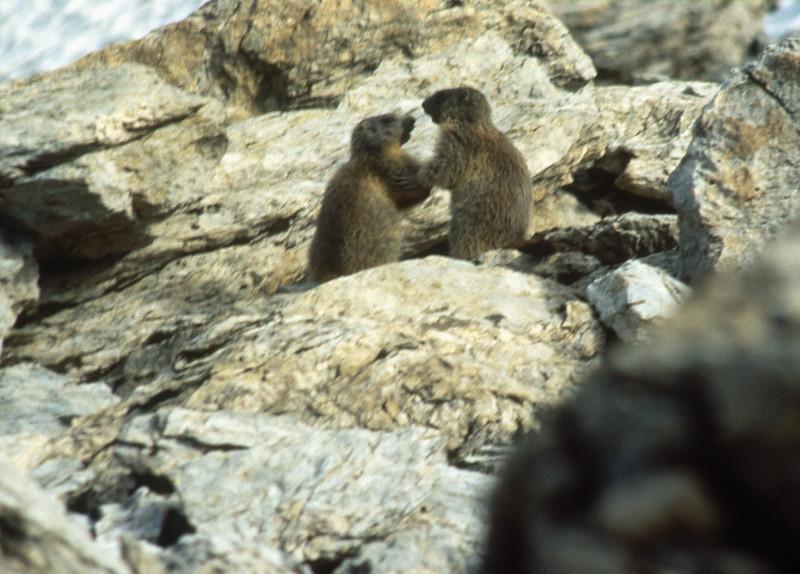 Marmota marmota (D: Murmeltier) Juv. Mountainmarmot
