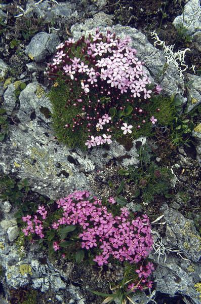 Silene acaulis (colour variation)