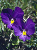 Viola calcarata