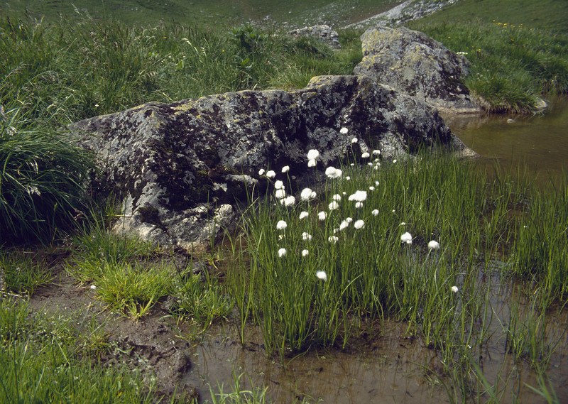 Eriophorum scheuchzeri