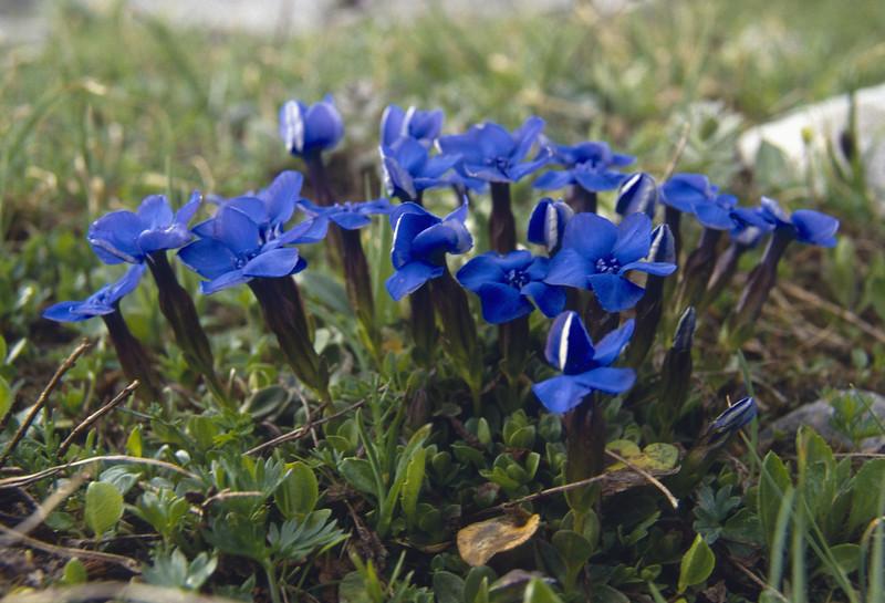Gentiana brachyphylla ssp favratii (determination by Herman Mylemans)