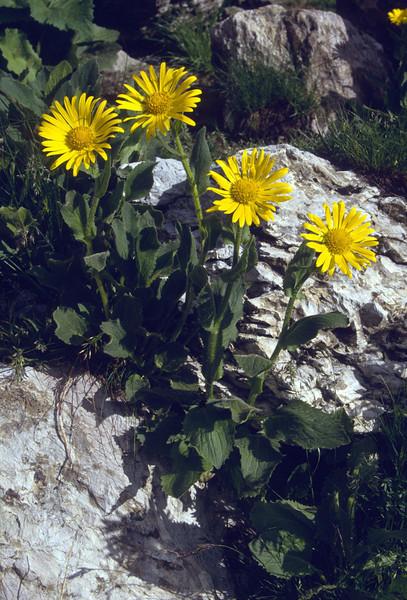 Doronicum grandiflorum