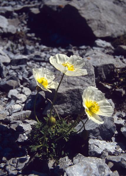 Papaver alpinum ssp. sendtneri