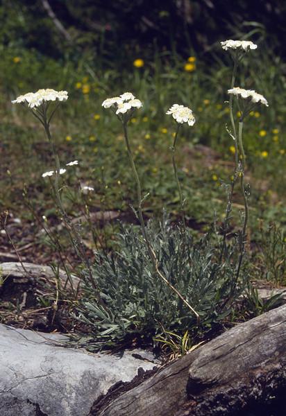 Achillea clavenae