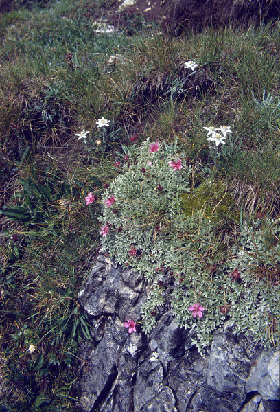 Potentilla nitida and Leontopodium alpinum