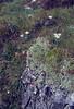 Potentilla nitida and Leontopodium alpinum