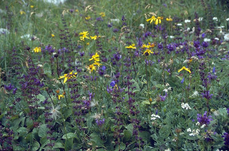 habitat with Arnica montana and Horminum pyrenaicum