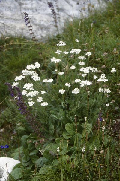 Achillea clavenae and  Horminum pyrenaicum
