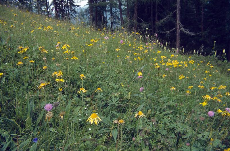 habitat with Arnica montana