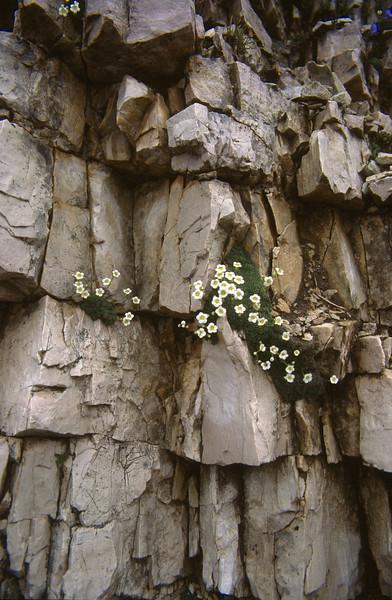 habitat of Saxifraga squarrosa