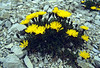 Leontodon montanus ssp. montanus