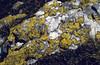 Rhizocarpon geographicum (lichen)