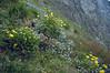 Habitat with Trollius, Doronicum and Myosotis spec.