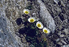 Ranunculus glacialis, (Plattenjoch 2728m)