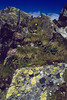 Silene acaulis and lichen: Rhizocarpon geographicum