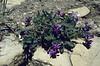 Oxytropis jacquinii (Seiser Alm)