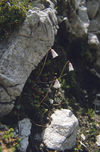 Soldanella minima (Langkofel)