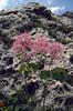 Thalictrum aquilegifolium (South Tirol)