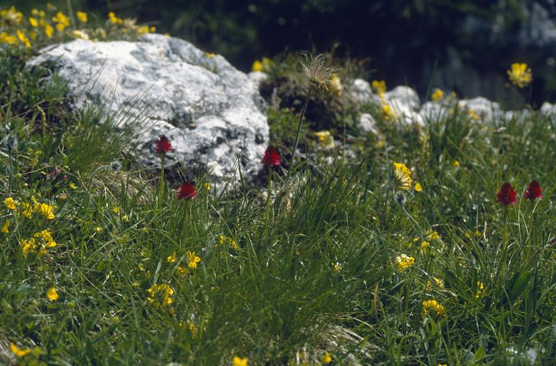 habitat of Anthyllis vulneraria and Nigritella rubra, (NL: rode vanille-orchis)