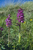 Orchis mascula, (NL: mannetjesorchis)