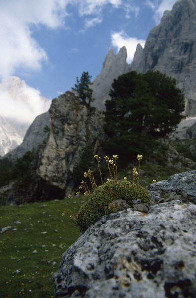 habitat of Saxifraga paniculata