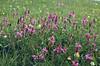 Onobrychis montana, (NL: berg-esparsette)