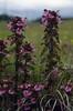 Pedicularis cf. verticillata