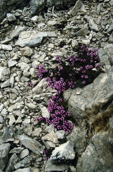 habitat of Saxifraga oppositifolia (Piz Boe)