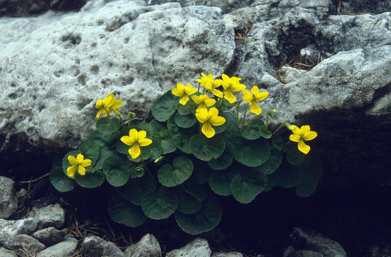 Viola biflora (Langkofel)