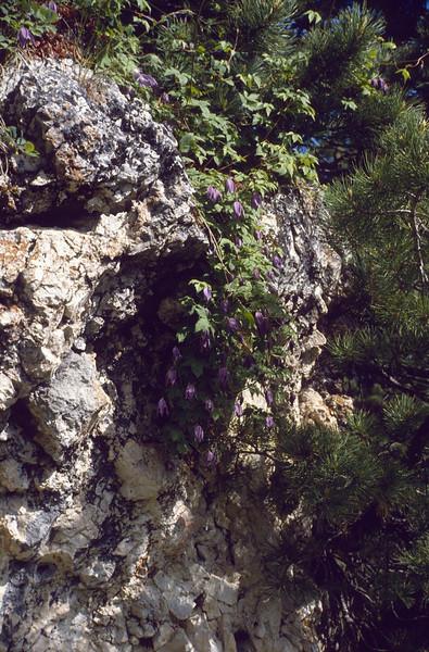 Clematis alpina (South Tirol)