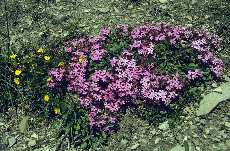Sapponaria ocymoides and Helianthemum spec. (Seiser Alm)